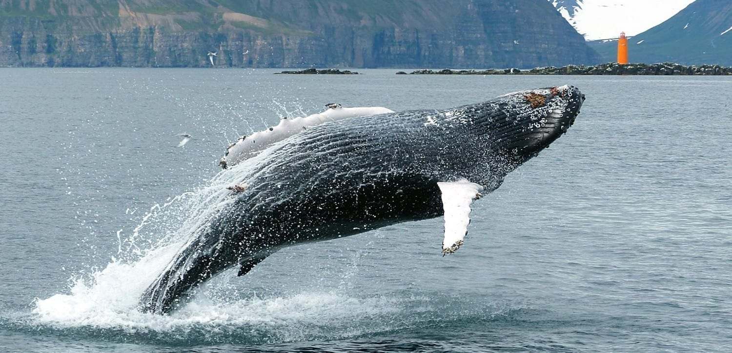Húsavík – The Best Place to Go Whale Watching in Iceland
